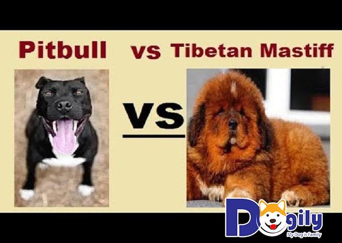 Ngao Tây Tạng với Pitbull – Giống chó nào mạnh hơn?