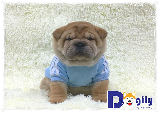 Ngoại hình nhỏ nhắn và vô cùng đáng yêu của những chú chó Chow Hound