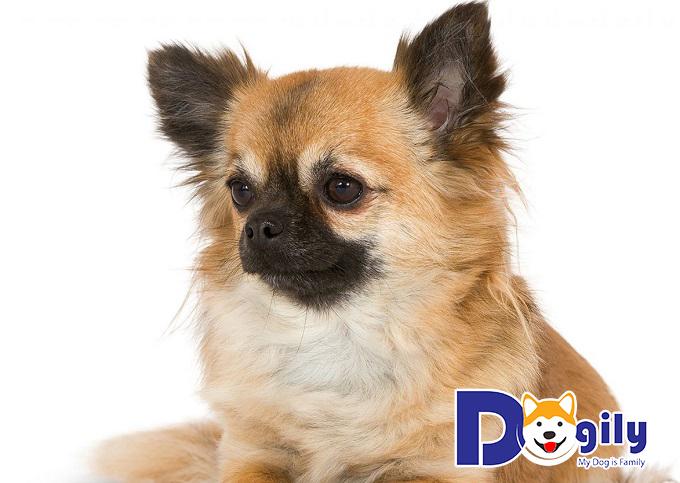 Nguồn gốc chó Chihuahua lông dài