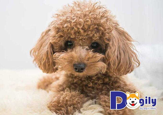 Nguồn gốc và phả hệ đóng vai trò quan trọng quyết định tới giá chó Poodle