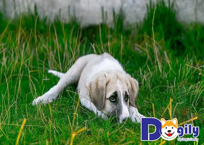 Những bé chó mắc bệnh Parvo thường sẽ biểu hiện những triệu chứng khá rõ rệt