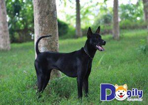 Những chú chó Phú Quốc mắc các lỗi cần bị loại bỏ ngay từ khi mới sinh ra