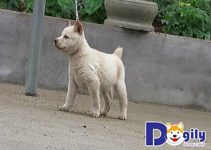 Những đặc điểm của chó Mông Cộc mà những người chuẩn bị nuôi cần biết