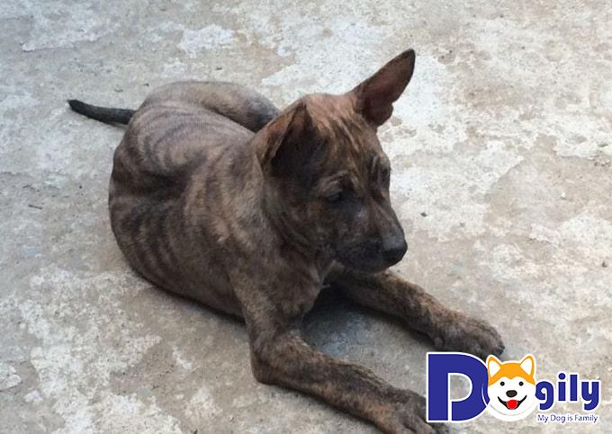 Những đặc trưng của chó Cộc đuôi mà những người chuẩn bị nuôi nên biết trước khi quyết định rước một chú Mông Cộc về nhà