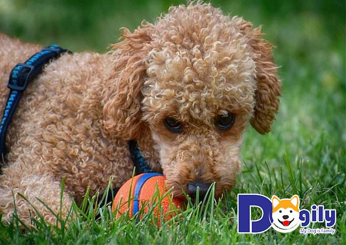 Những lưu ý khi chọn mua bán chó Poodle nhập khẩu Châu Âu và Thái Lan