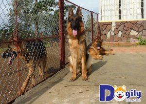 Những trại chó Becgie Đức thuần chủng luôn là nơi được nhiều người ưa chó lựa chọn