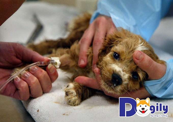Ốm yếu, mệt mỏi là một trong những triệu chứng bệnh Parvo ở chó rất phổ biến