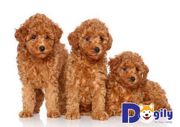 Phòng bệnh viêm đường ruột ở chó Poodle đúng cách, tùy vào từng nguyên nhân