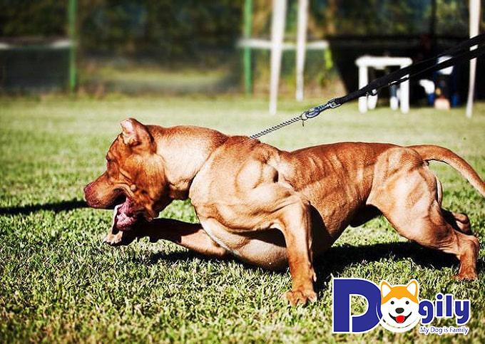 Pitbull thường thích hợp chơi với trẻ con hơn là chó Tây Tạng