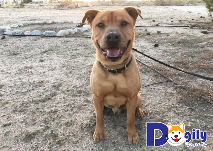 Pitchow là những chú chó với tính cách rất khó đoán nên cần chăm sóc kỹ lưỡng khi nuôi