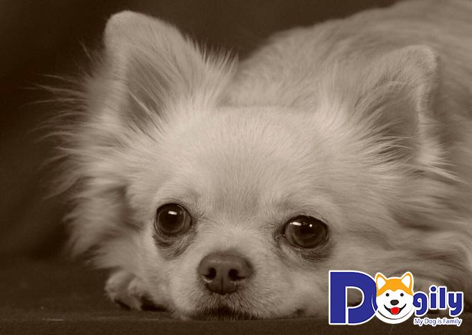 Quyền lợi của khách hàng khi mua Chihuahua ở Dogily