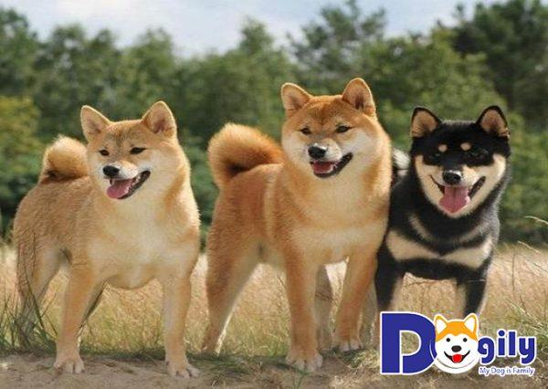 Shiba Inu trong thế chiến thứ II được chia làm ba dòng chó riêng