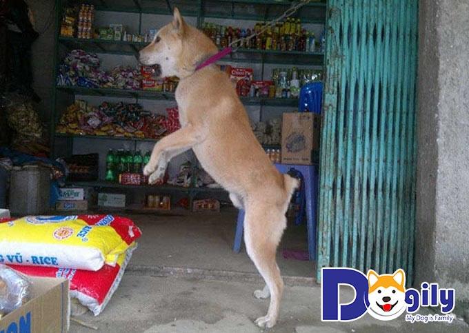 Sức khỏe luôn là vấn đề bạn cần quan tâm khi mua bán chó Mông Cộc