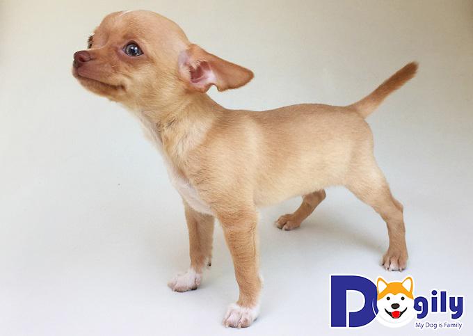 Sức khỏe và thể lực của giống chó Chihuahua