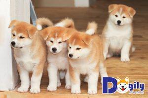 Thông tin về chó Akita Nhật