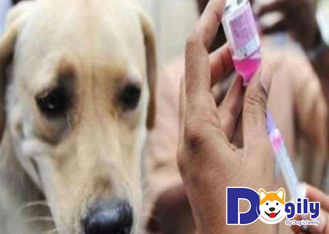 Tiêm vaccin phòng bệnh lepto ở boss