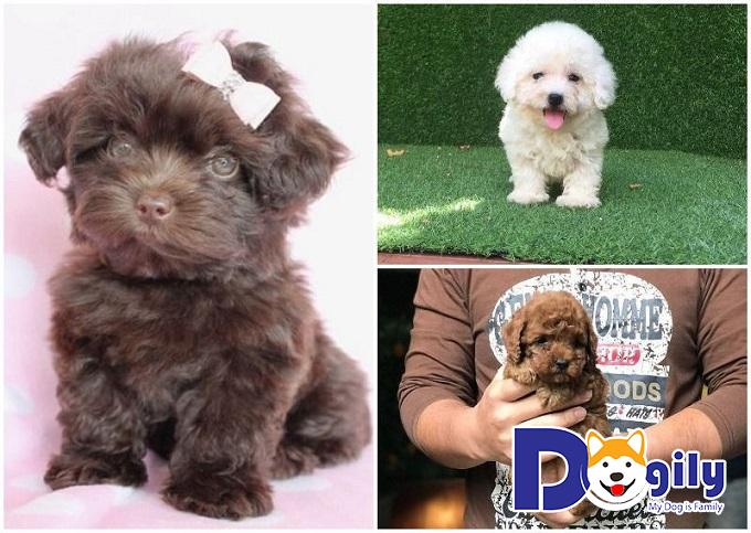 Tìm hiểu nguồn gốc, lịch sử của giống chó Poodle