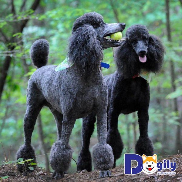 Vài nét về giống chó Poodle
