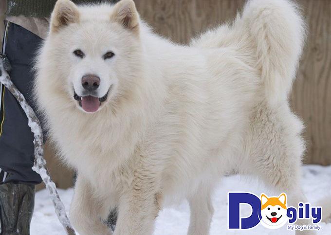 Vẻ đẹp kiều diễm và mạnh mẽ của chú chó Alaska trắng
