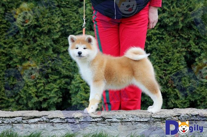 Chó Akita bấu vật quốc gia của đất nước mặt trời mọc