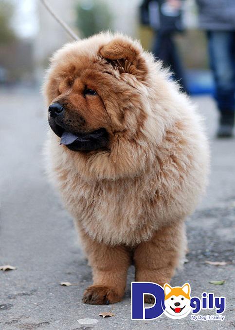 Cách chăm sóc lông cho chó Chow Chow hiệu quả