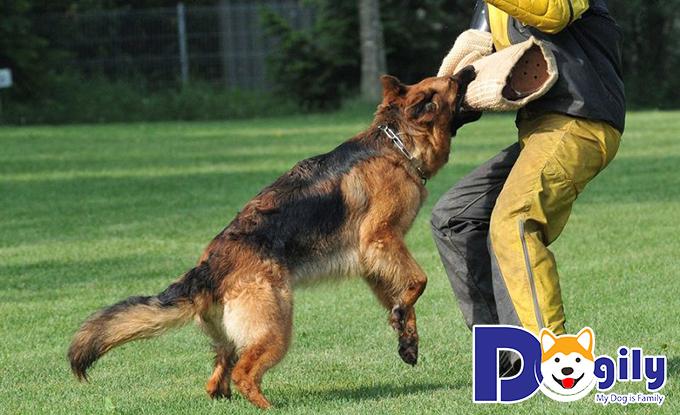Cách huấn luyện chó becgie hiệu quả
