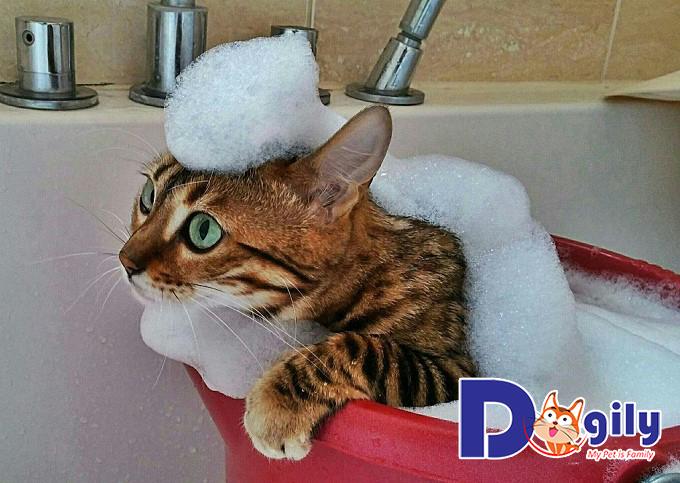 Loài mèo muốn rất sợ nước nên khi tắm gội bạn cần thao tác nhẹ nhàng
