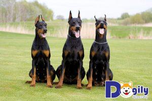 Chân là cách nhận biết chú chó Doberman thuần chủng dễ dàng nhất