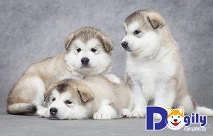 Chó Alaska con hay bị bệnh care