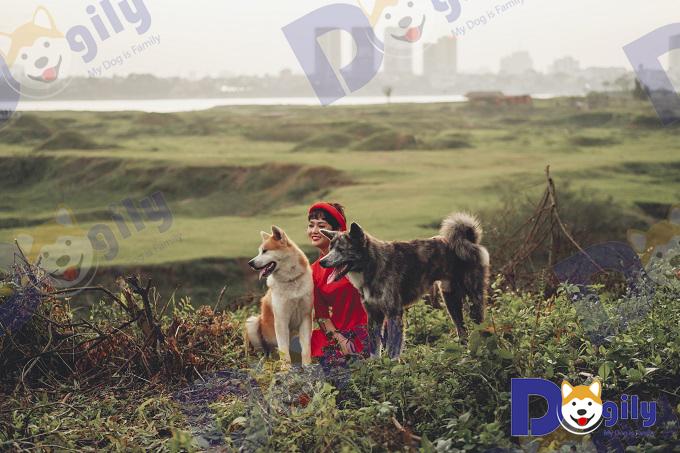 Hai chú chó cảnh nhập khẩu thuộc giống chó Akia Inu Nhật Bản của Dogily Petshop.