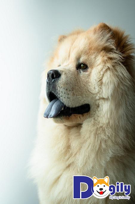 Chó chow chow thuần chủng có đặc điểm như thế nào