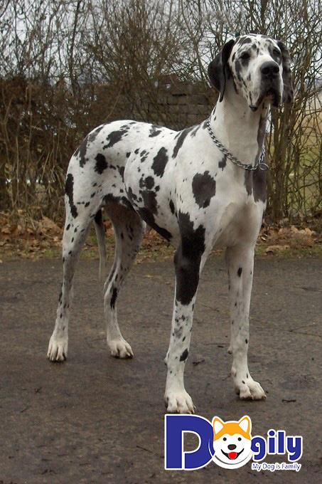 Chó Great Dane giá bao nhiêu tiền hiện nay?