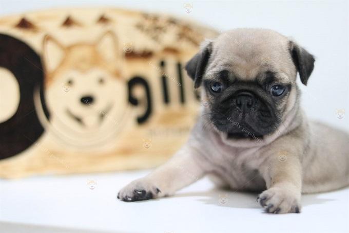 Bé Pug mặt xệ 2,5 tháng tuổi đang bán tại Dogily Pet Shop quận 1, Tphcm.
