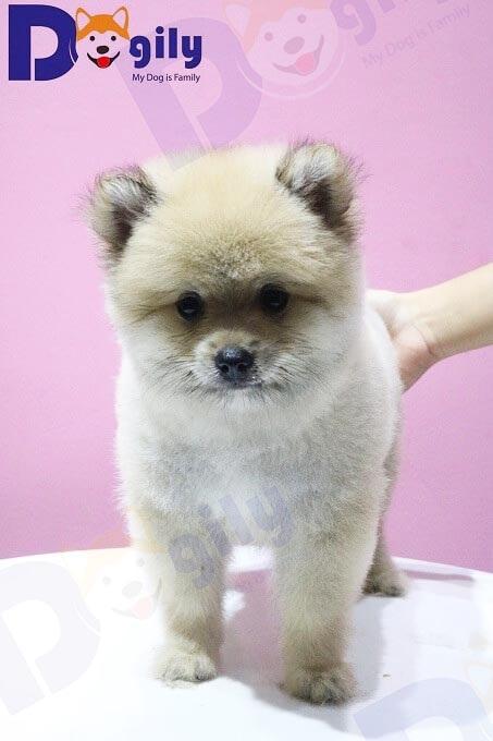 Một bé phốc sóc Pomeranian được cắt tỉa kiểu chó Boo tại Dogily Spa & Grooming.