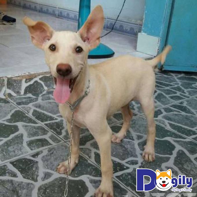 Chó Phú Quốc lai chó ta
