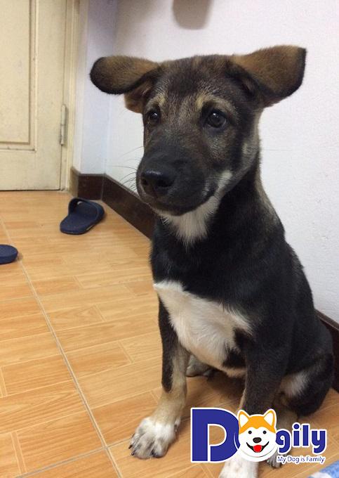 Chó Phú Quốc lai có đặc điểm như thế nào