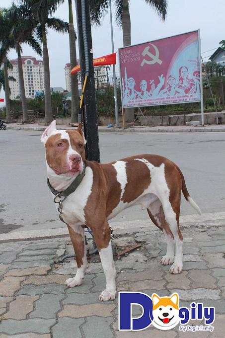 Chó Pitbull đạt độ thuần chủng cao.