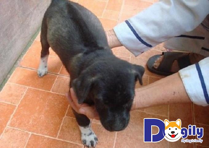 Chó Pitbull lai Phú Quốc