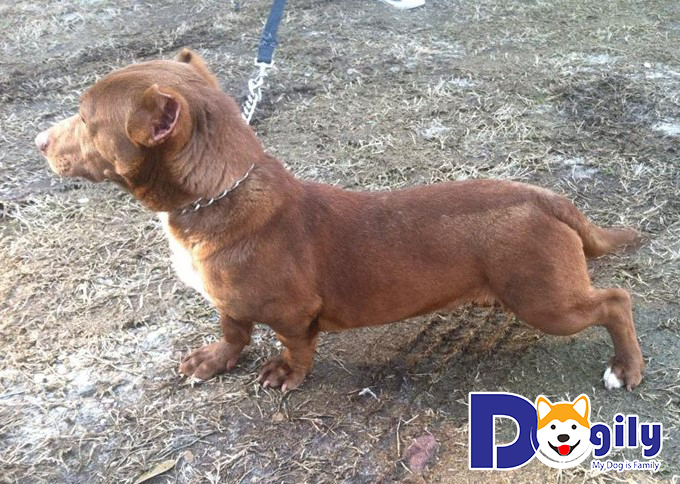 Chó Pitbull lai Lạp Xưởng