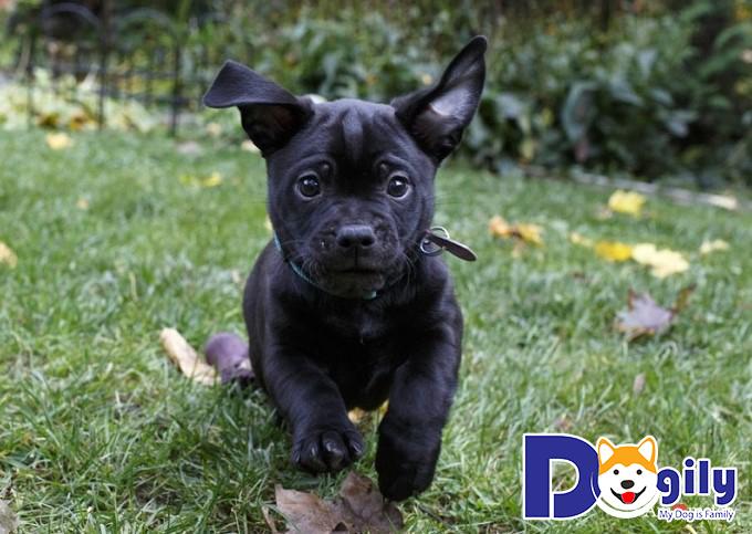 Chó Pitbull lai Pug