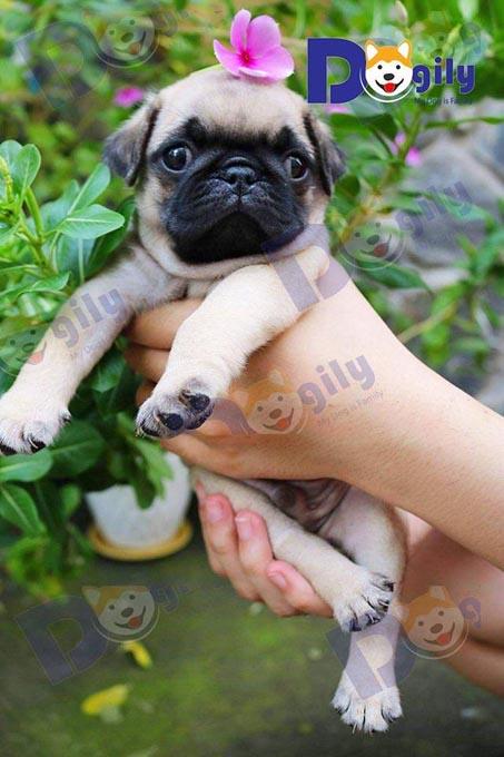 Một chú chó pug mặt xệ sinh tại Việt Nam nhà Dogily. Pug là một trong những giống chó cảnh rất được các bạn trẻ Sài Gòn, Hà Nội, Đà Nẵng ưa chuộng...