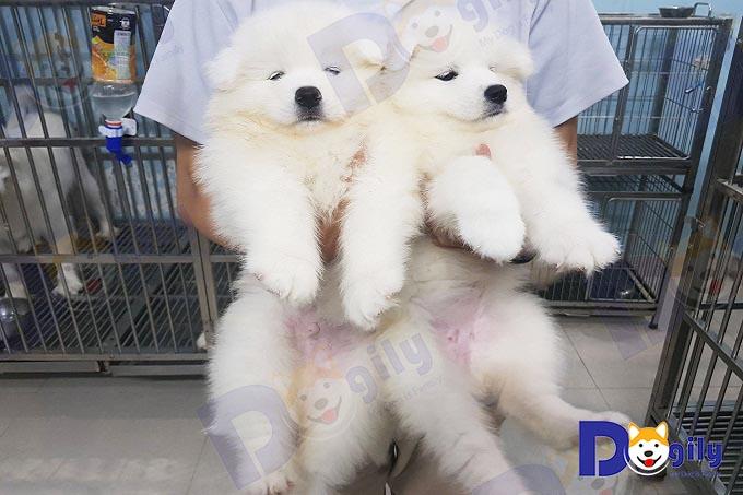 Hai bé Sam sinh sản trong nước bán tại hệ thống Dogily Petshop.