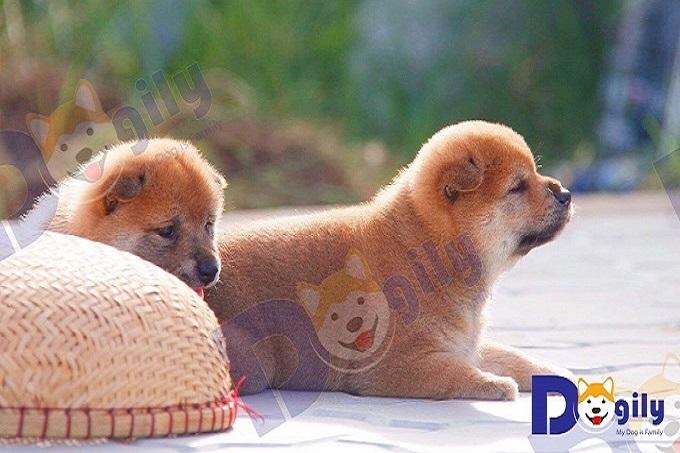 Hai bé Shiba Inu con bố mẹ nhập Nhật tại trang trại thuộc hệ thống Dogily Petshop.