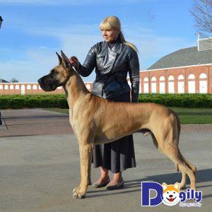 Giống chó Great Dane với chiều cao nổi tiếng