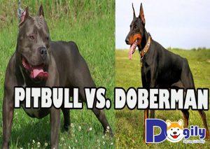 Đặc điểm của chó doberman và pitbull