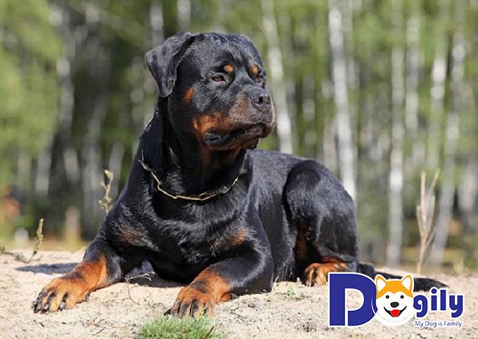 Địa chỉ phối giống chó Rottweiler trên toàn quốc