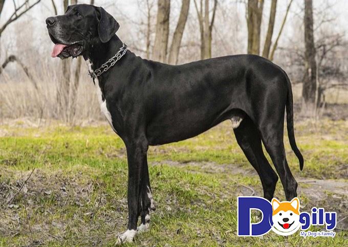 Dogily - Nơi đem tới những giống chó Great Dane chất lượng nhất