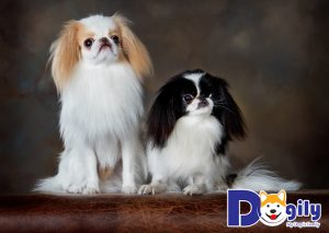 Giá chó Nhật có liên quan đến màu lông