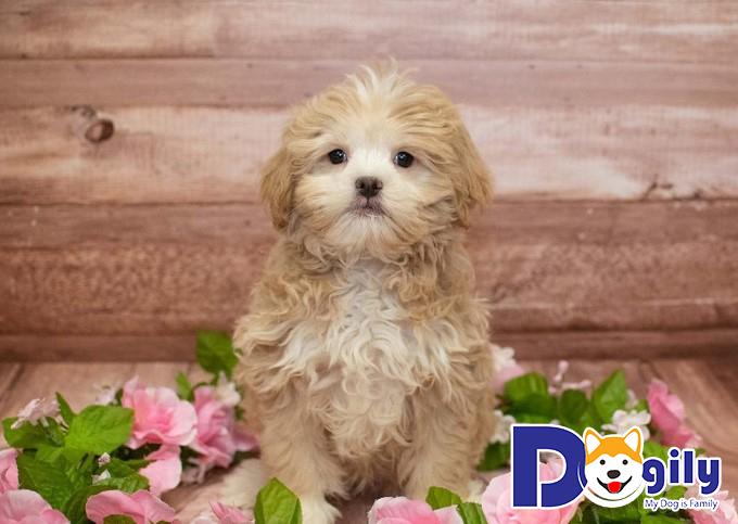 Chó Poodle lai Nhật