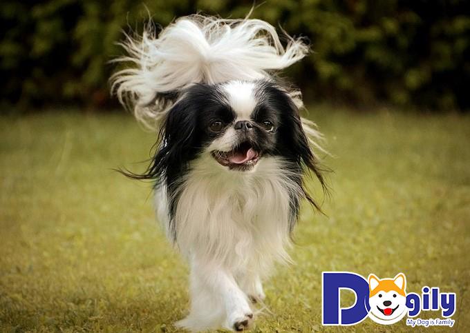 Giống chó Nhật có ngoại hình nhỏ nhắn dễ thương